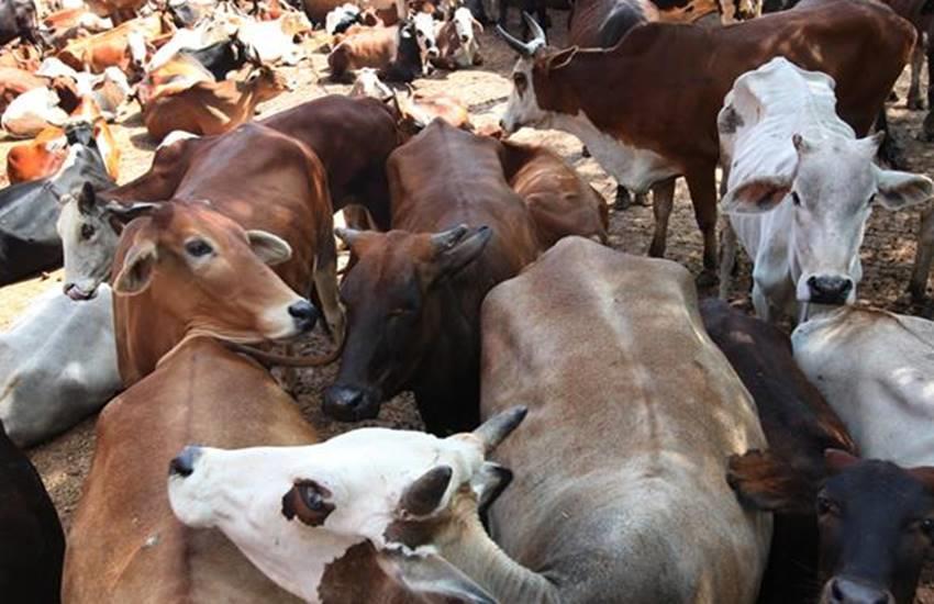 Narendra Modi, Mohan Bhagwat, Death of Hundreds of Cows, Silence on Death, Silence on Death of Cows, Congress, MP Congress, Narendra Modi and Mohan Bhagwat, Mohan Bhagwat Silence, National news