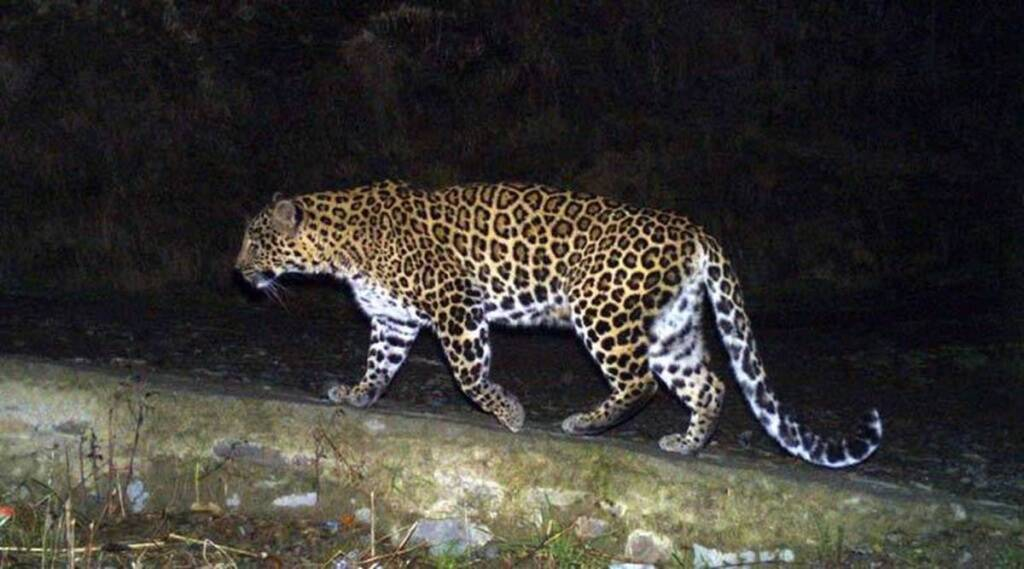 Madhya Pradesh, Leopard, Madhya Pradesh News,