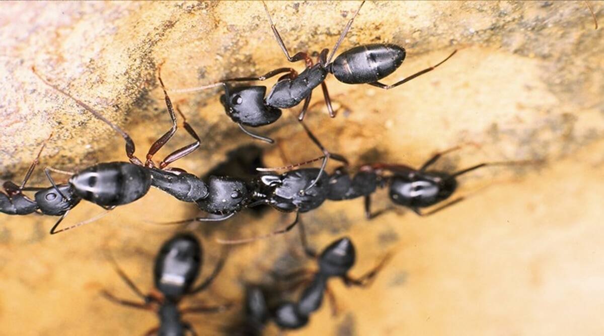 The secret behind the ant's steely teeth revealed