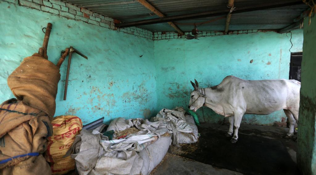 cow, india news, national news