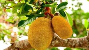 Blood Sugar, Jackfruit Flour,